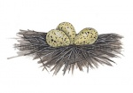 Kluut-nest met eieren-10541