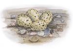 Kluut-nest met eieren-10547