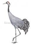 Kraanvogel-10635