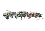Honingbij-koningin achtervolgd door werksters-14580-2