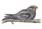 Nachtzwaluw-10488
