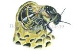 Honingbij-koningin uit broedcel 14539