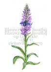 Blauwzwarte houtbij-op gevlekte rietorchis -18270