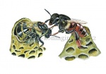 Honingbij-koninginuit brodcel-vechtende Koninginnen-14539-2