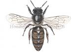 Honingbij-koningin-14176