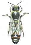 Honingbij-koningin-14550