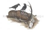 Raaf-kadaver Edelhert-10625-1