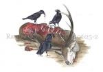 Raaf-kadaver Edelhert-10625-2