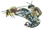 Honingbij-parend-14532