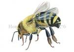 Honingbij-Stertselen-14576