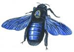 Blauwzwarte houtbij-14527