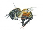 Honingbij-vlucht-14582-1
