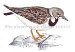 Steenloper-winterkleed-100112