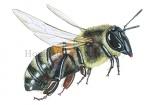 Honingbij-vlucht-14607