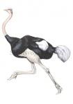 Struisvogel-10686