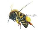 Honingbij-vlucht-stuifmeel-14581