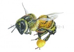 Honingbij-vlucht-stuifmeel-14582-1