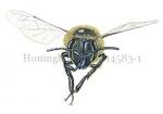 Honingbij-vlucht-vooraanzicht-14583-1