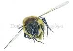 Honingbij-vlucht-vooraanzicht-14585-1