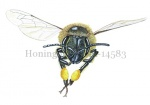 Honingbij-vlucht-vooraanzicht-stuifmeel-14583