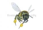Honingbij-vlucht-vooraanzicht-stuifmeel-14584