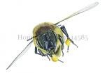 Honingbij-vlucht-vooraanzicht-stuifmeel-14585