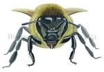 Honingbij-vooraanzicht-14451