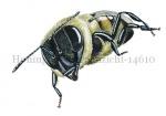 Honingbij-vooraanzicht-14610