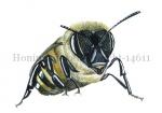 Honingbij-vooraanzicht-14611