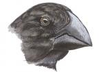 Darwinsvinken-Grote grondvink-10719