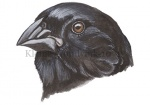 Darwinsvinken-Kleine grondvink-10717
