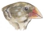 Darwinsvinken-Middelste grondvink-10720