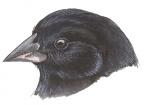 Darwinsvinken-Spitssnavelgrondvink-10717