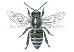 Honingbij-werkster-14182