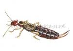 Oorworm-zijaanzicht-14498