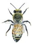 Honingbij-werkster-vooraanzicht-14608