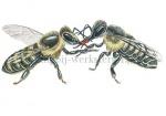 Honingbij-werksters-vechtend-14559