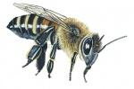 Honingbij-werkster-vlucht-14207