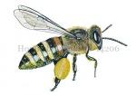 Honingbij-werkster-vlucht-stuifmeel-14206
