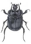 Driehoornmestkever-14119