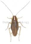 Duitse kakkerlak-14300
