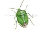 Groene struikwants-14394